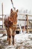Giovane puledro nella neve fotografia stock