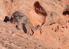 Giovane puma che sta su un bordo dell'arenaria rossa che guarda indietro sopra la spalla del ` s verso la terra qui sotto immagini stock libere da diritti