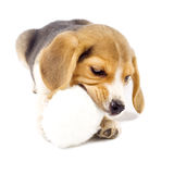 Giovane pup adorabile del cane da lepre Fotografia Stock Libera da Diritti