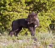 Giovane pup di lupo Fotografia Stock Libera da Diritti
