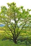 Giovane quercia Fotografia Stock