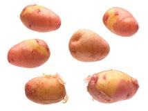 Giovane raccolta rossa della patata Fotografie Stock Libere da Diritti
