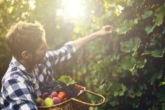 Giovane raccolto barbuto del vino dell'uva della scelta dell'uomo in vigna su un'azienda agricola di stagione estiva fotografia stock