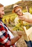 Giovane raccolto dell'uva - agricoltore soddisfatto Fotografie Stock Libere da Diritti
