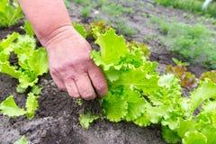 Giovane raccolto della lattuga Fotografia Stock