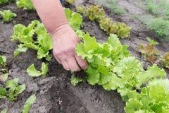 Giovane raccolto della lattuga Immagini Stock Libere da Diritti