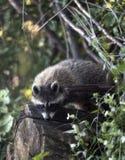 Giovane Raccoon Fotografia Stock Libera da Diritti