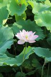 Giovane radice del loto e foglia di fioritura del loto del loto immagine stock libera da diritti