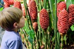 Giovane ragazzo che esamina Costus Comosus varietà Bakeri - pianta fotografie stock