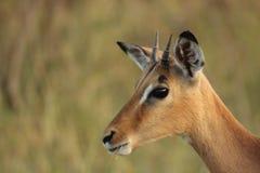 Giovane ram dell'impala fotografia stock libera da diritti