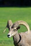Giovane Ram delle pecore Bighorn del deserto Immagine Stock