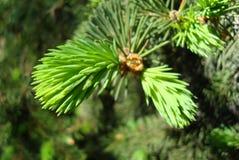 Giovane ramo del pino Fotografia Stock