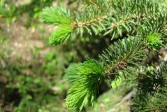 Giovane ramo del pino Fotografie Stock