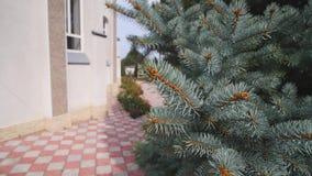 Giovane ramo di albero verde dell'abete che si muove nella brezza del vento leggero closeup stock footage