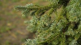 Giovane ramo di albero verde dell'abete che si muove nella brezza del vento leggero closeup archivi video