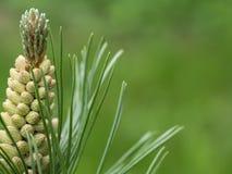 Giovane ramo verde del pino Fotografie Stock