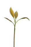 Giovane ramoscello dell'avocado Immagini Stock