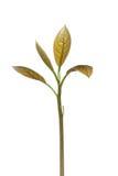 Giovane ramoscello dell'avocado Fotografia Stock Libera da Diritti