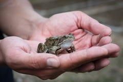 Giovane rana che si siede sulle mani maschii Fotografia Stock