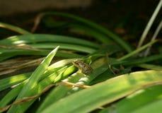 Giovane rana in un'asse di luce solare Fotografie Stock