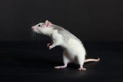 Giovane ratto curioso Fotografia Stock Libera da Diritti