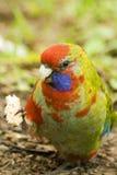 Giovane re (giovanile) Parrot usa l'artiglio per mangiare Immagine Stock Libera da Diritti
