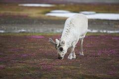 Giovane renna selvaggia in tundra artica - Spitsbergen Fotografia Stock