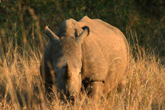 Giovane rinoceronte nella savana al tramonto Fotografia Stock Libera da Diritti