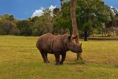 Giovane rinoceronte in prato verde sulla foresta verde e fondo nuvoloso parziale nei giardini Tampa di Bush immagini stock