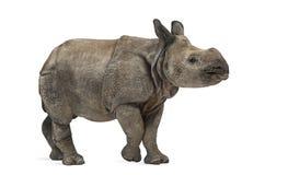 Giovane rinoceronte un-cornuto indiano (8 mesi) Fotografia Stock Libera da Diritti