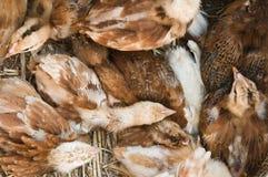 Giovane riposo del gruppo del pollo Fotografie Stock Libere da Diritti