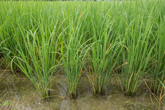 Giovane riso verde Fotografia Stock