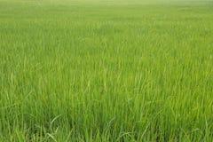 Giovane riso verde nel giacimento del riso Fotografia Stock