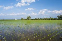 Giovane riso verde nel giacimento del riso. Immagini Stock