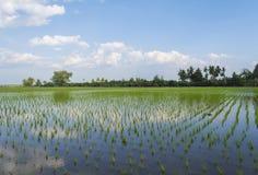 Giovane riso verde nel giacimento del riso. Fotografia Stock