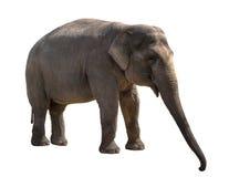 Giovane ritaglio della femmina dell'elefante Immagine Stock