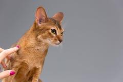 Giovane ritratto abissino di razza del gatto Fotografia Stock