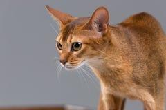 Giovane ritratto abissino di razza del gatto Immagine Stock Libera da Diritti