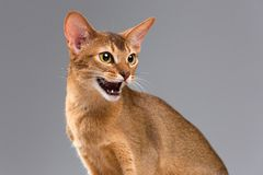 Giovane ritratto abissino di razza del gatto Fotografie Stock