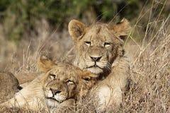 Giovane ritratto dei leoni Immagine Stock Libera da Diritti