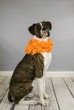 Giovane ritratto del cane del pugile Fotografie Stock