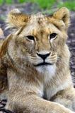 Giovane ritratto del cub di leone Immagini Stock Libere da Diritti
