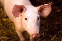 Giovane ritratto del maiale Fotografia Stock