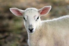 Giovane ritratto dell'agnello Fotografia Stock Libera da Diritti
