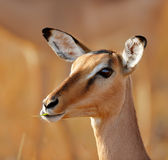 Giovane ritratto dell'impala immagini stock libere da diritti