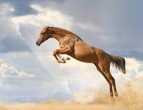 Giovane salto di razza del cavallo Fotografia Stock