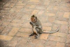 Giovane scimmia Fotografie Stock