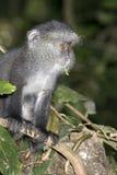 Giovane scimmia blu. Immagine Stock