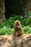 Giovane scimmia che mangia pianta Fotografie Stock Libere da Diritti
