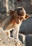 Giovane scimmia che osserva giù Fotografia Stock
